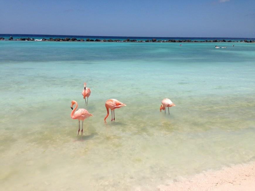 Flamingos Renaissance island Aruba