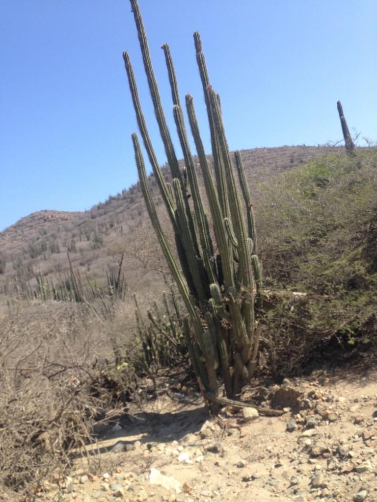 Cactus, Aruba, winter sun, holidays